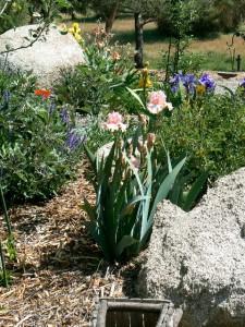 Iris, poppies!